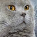 Expo chiens chats : British shorthair